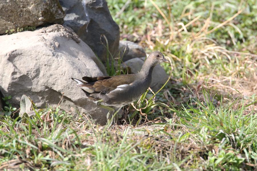 2015-2-28バンの幼鳥T84A0679