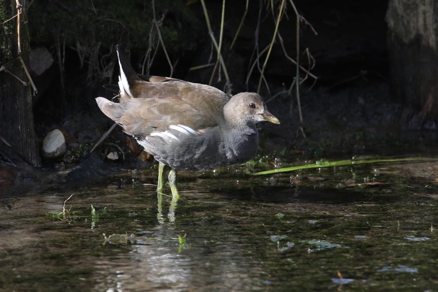 2015-2-28バンの幼鳥T84A0722