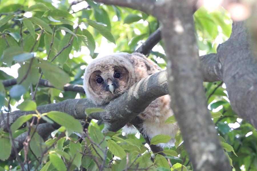 2015-5-フクロウの雛475A8268