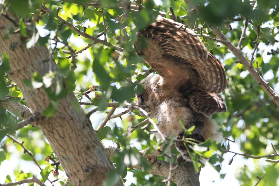 2015-5-フクロウの雛AR0J0363