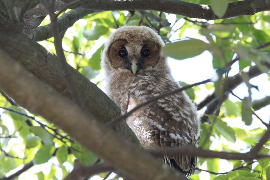 2015-5-フクロウの雛475A7299