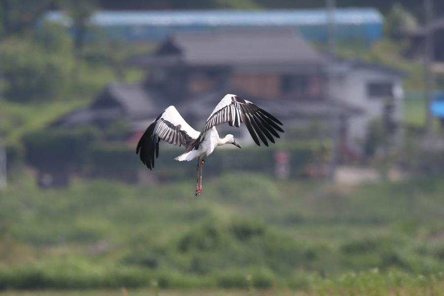 2015-5-31-コウノトリAR0J2003