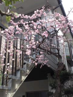 長尾谷町教室の梅