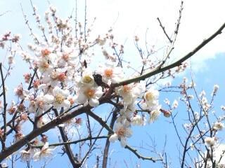 長尾教室の梅