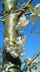s-青空と桜
