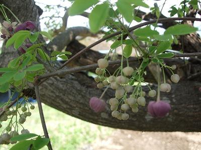 s-あけびの花