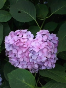 はーと紫陽花