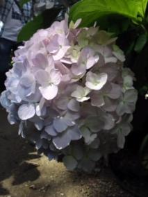 ブーケ紫陽花