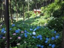 三室戸寺紫陽花