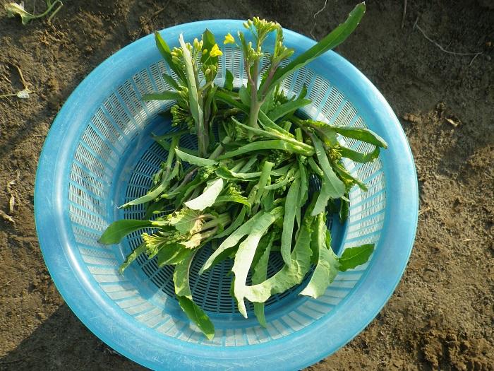 収穫菜花14_12_31