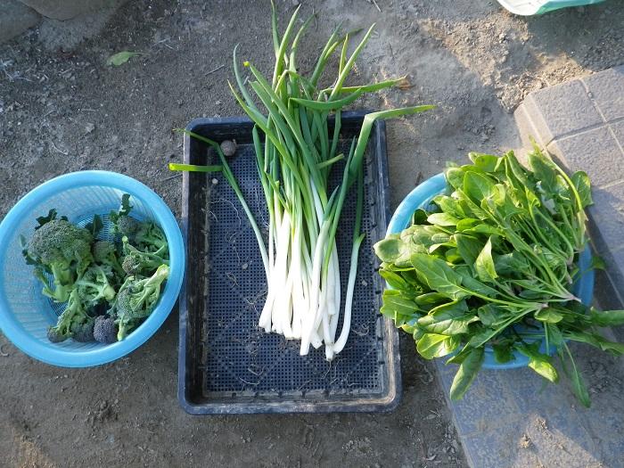 収穫4_15_01_12
