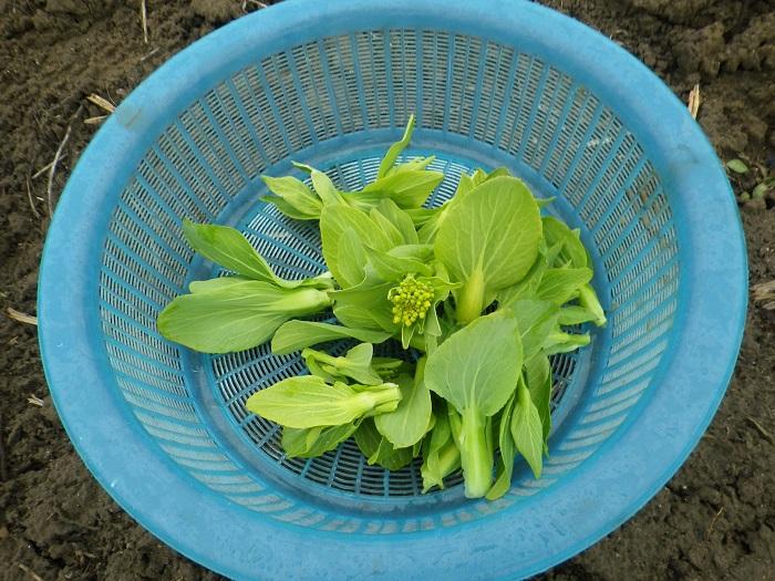 収穫青梗菜ナバナ15_02_08