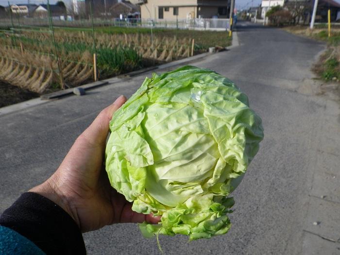 収穫キャベツ15_02_28