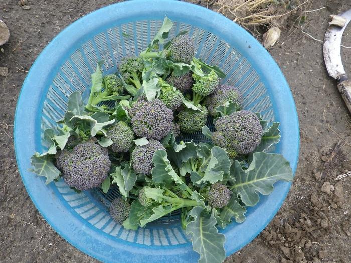 収穫ブロッコリー15_03_07
