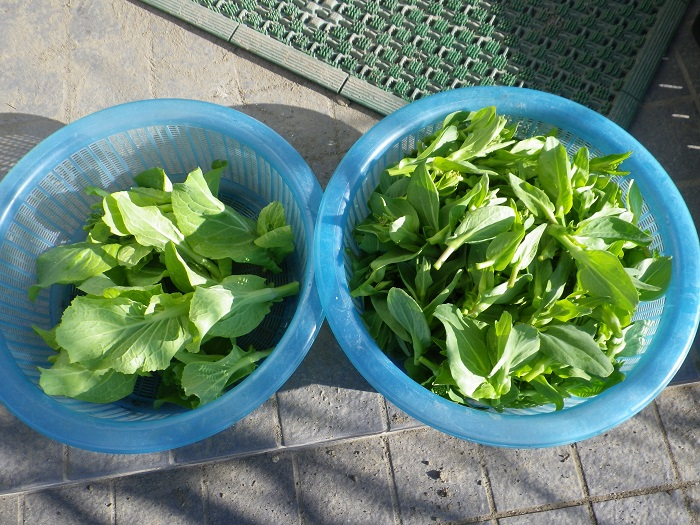 収穫青梗菜15_03_08
