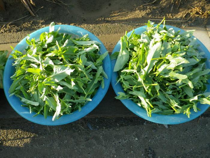 収穫菜花15_03_20