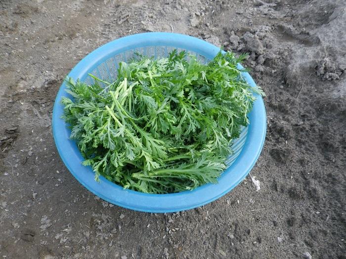 春菊収穫15_03_22