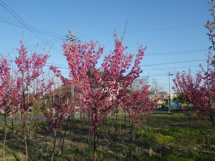 桜の苗木3_15_03_26