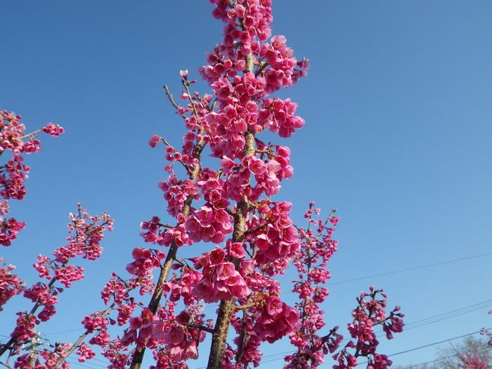 桜の花15_03_26