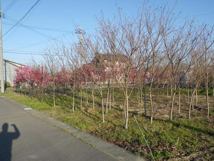 桜の苗木2_15_03_26