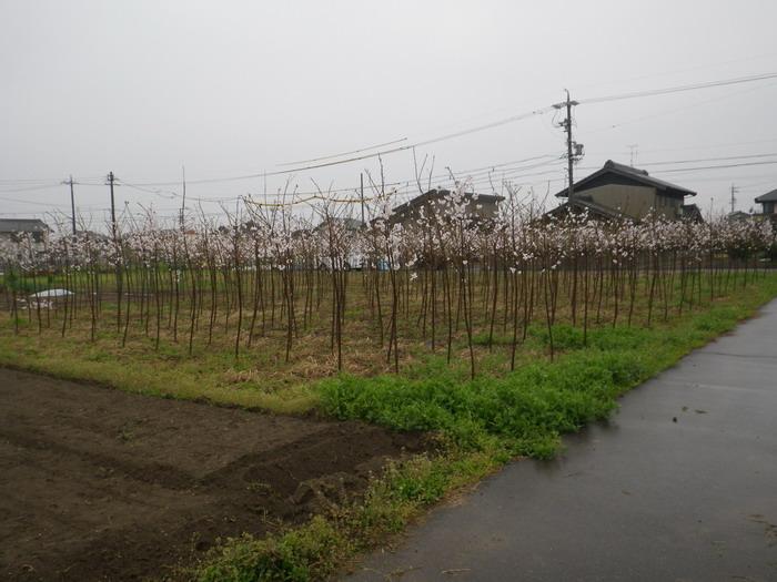 桜15_04_01