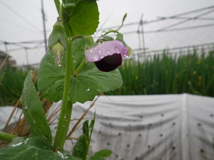 砂糖豌豆15_04_05