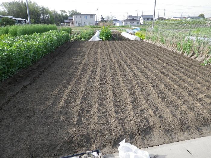 里芋の畝1_15_04_18