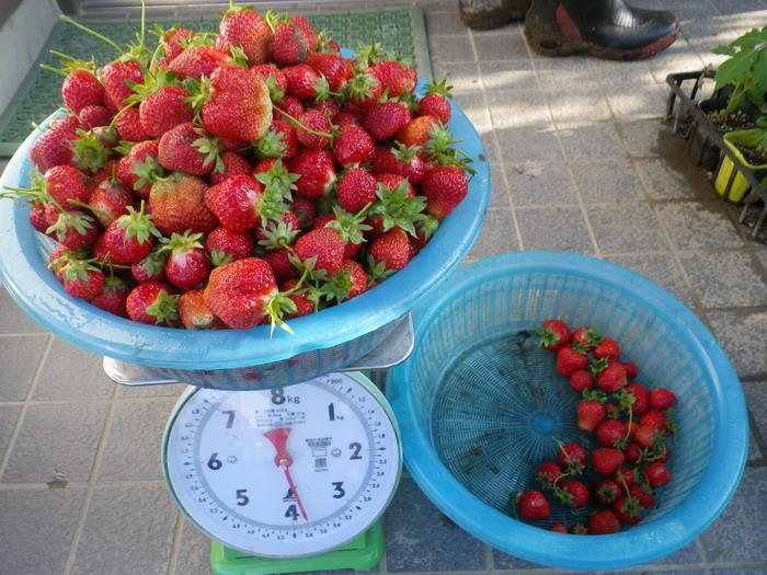 収穫イチゴ15_05_13
