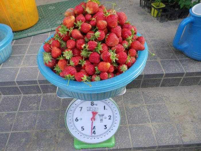 収穫イチゴ15_05_15