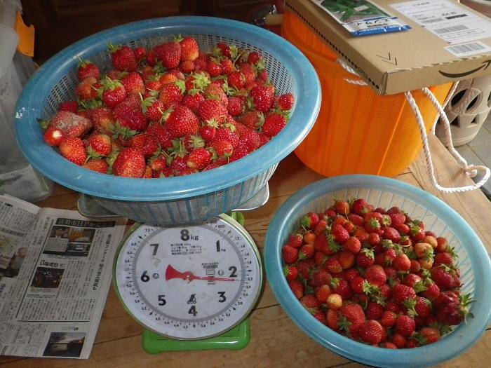 収穫イチゴ15_05_17