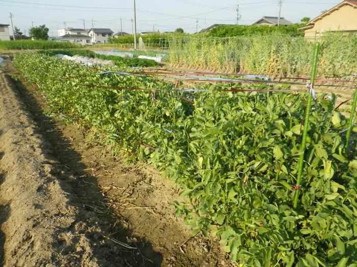 そら豆の畝15_05_26