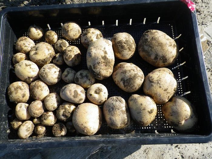 収穫ジャガイモ15_06_06
