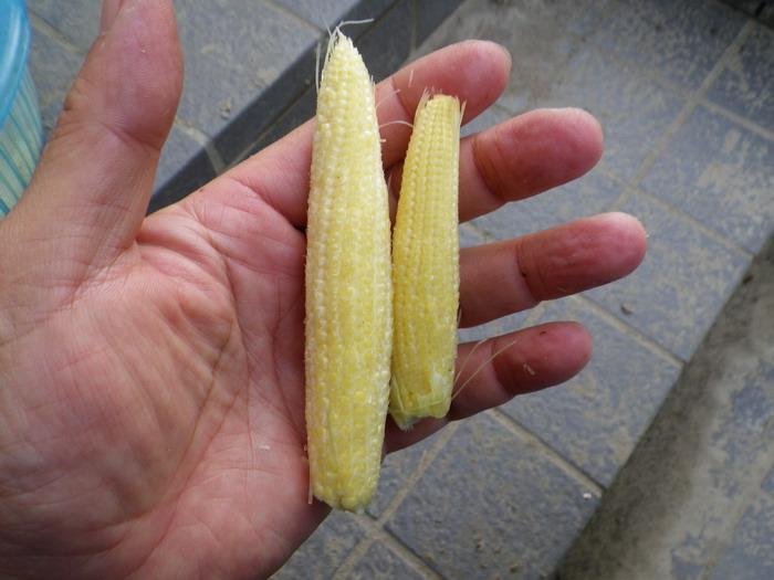 収穫ヤングコーン15_06_10