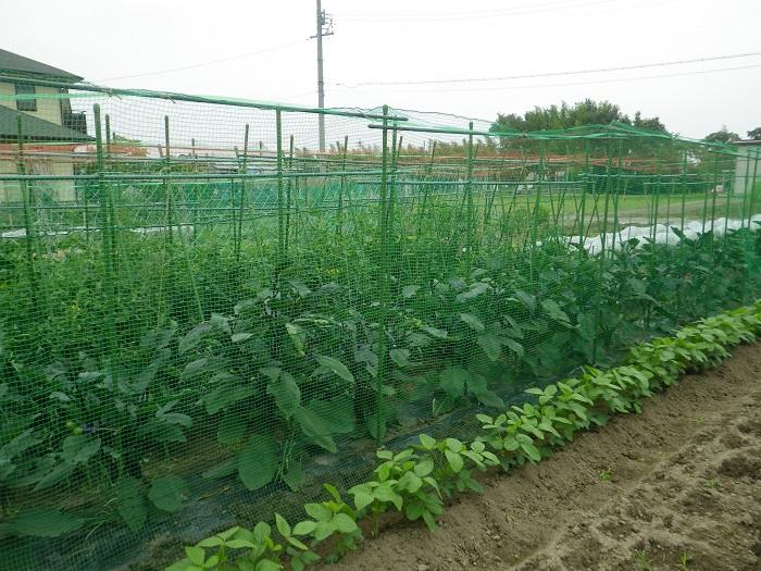 トマト畑15_06_14