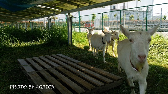 solar power with goats