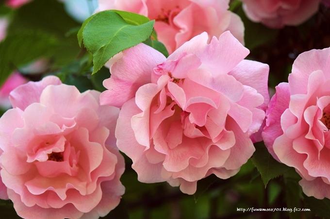 チビプードルモコの毎日☆花