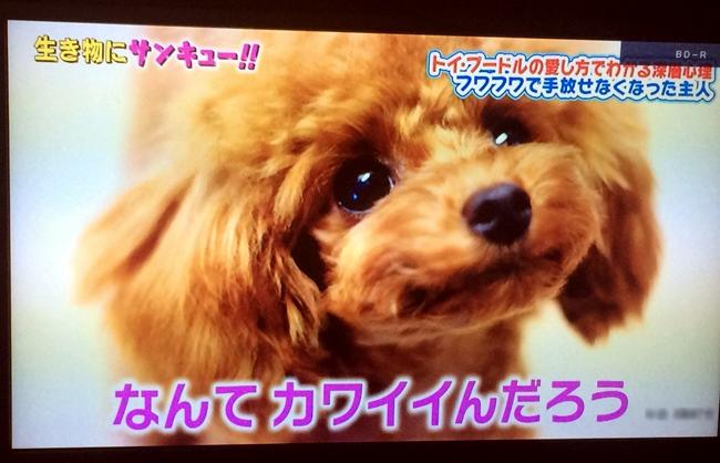 チビプードルモコの毎日☆モコ TBS生き物にサンキュー