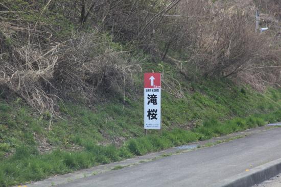 滝桜 (7)滝桜