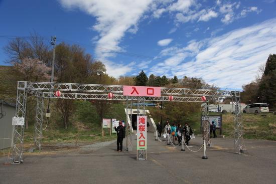 滝桜 (9)滝桜