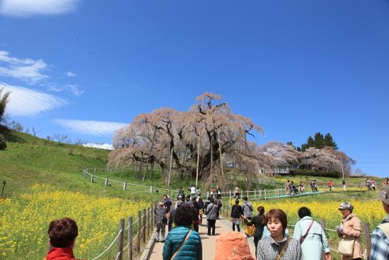滝桜 (15)滝桜