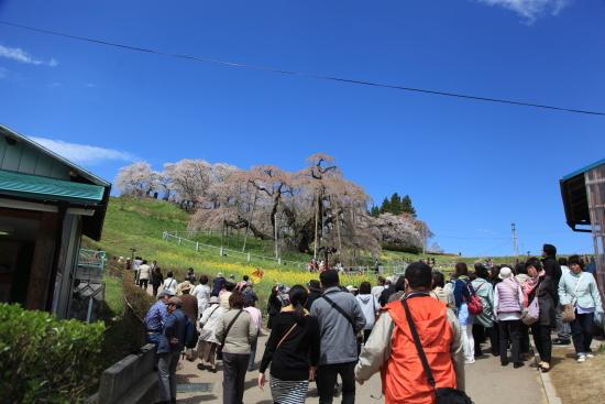滝桜 (10)滝桜