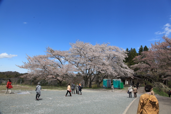 滝桜 (24)滝桜