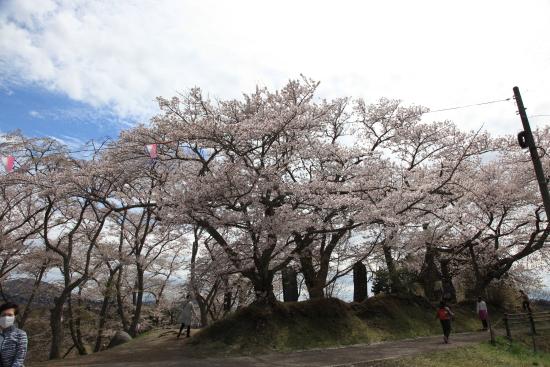 滝桜 (25)滝桜