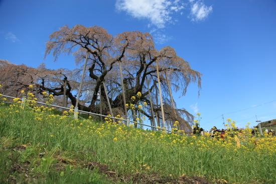 滝桜 (38)滝桜