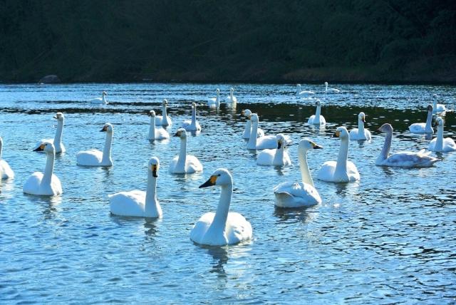 荒川の白鳥 (1)