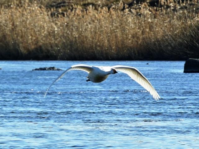 荒川の白鳥 (3)