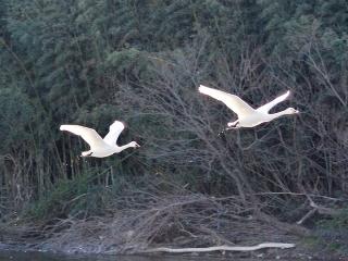 荒川の白鳥 (10)