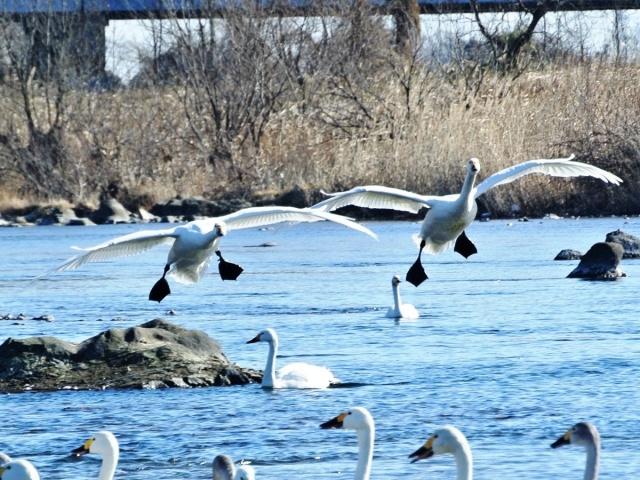 荒川の白鳥 (12)