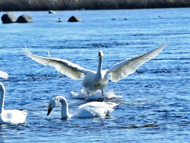 荒川の白鳥 (13)