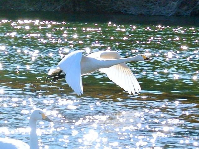 荒川の白鳥 (14)